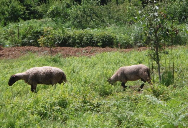羊は草刈りに精を出す。写真:伊藤 智子