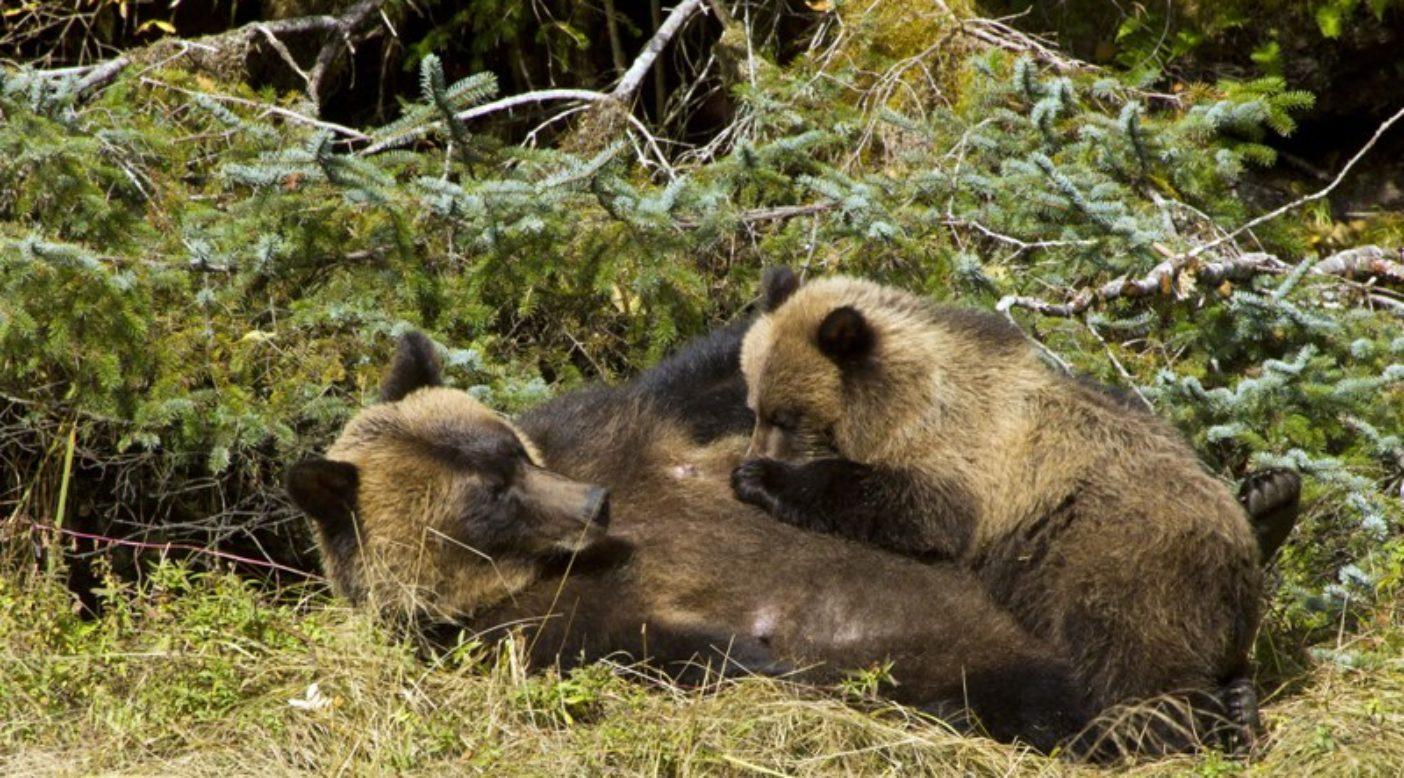 富を共有する;母グマが貴重な命を子グマに与える。Photo:Larry Travis/www.raincoast.org