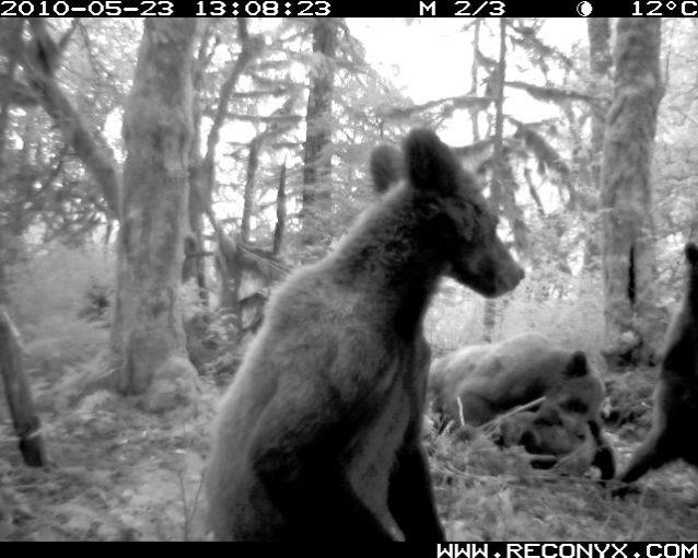 レインコーストに住むグリズリーの生活の稀な映像。Photo:Raincoast Conservation Foundation
