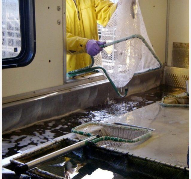 ふ化場で養殖されたスチールヘッドは、自動ヒレ削除機に投げ込まれたあと、食用としてラベルが付けられる。Photo: Ari Zolonz collection