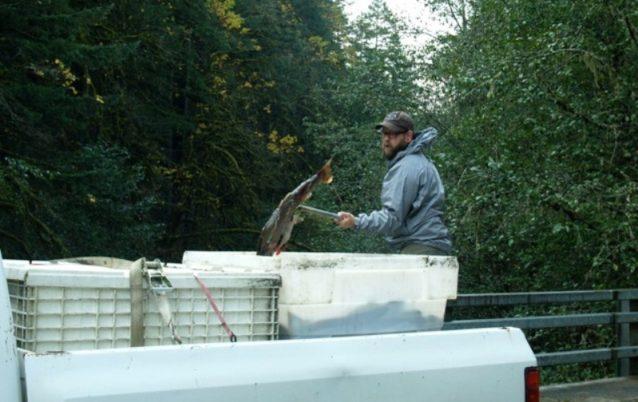 栄養素強化プロジェクトの一環として、ふ化場から出たサーモンの死骸を橋の上からモララ・リバーへと投げ込むアリ。白い容器ひとつひとつは、何十匹もの大きなコーホー・サーモンでいっぱいだ。Photo: Ari Zolonz collection