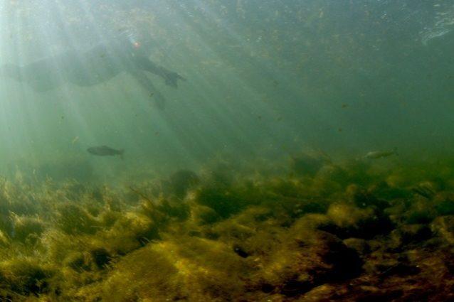 2匹の稚魚が泳ぐ。Photo: Matt Stoecker