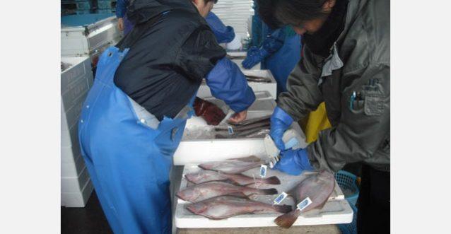 水揚げされたアカガレイにMSCエコラベルのタグを付けるようす。写真:京都府漁業協同組合連合会