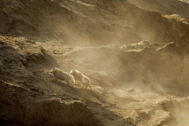 スティキーンのグランドキャニオンのシロイワヤギ。2010年、ブリティッシュ・コロンビア Photo: Paul Colangelo