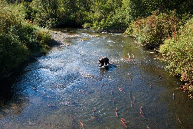 ナース川の支流でサケを追いかけるグリズリーベア。ブリティッシュ・コロンビア Photo: Paul Colangelo