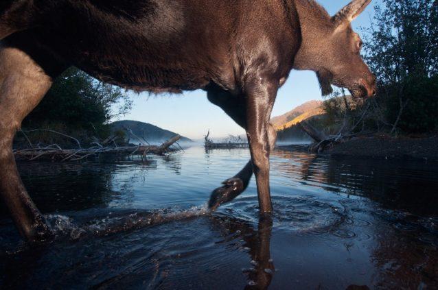 イアルー湖のムース。2010年、ブリティッシュ・コロンビア Photo: Paul Colangelo