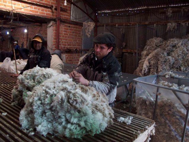 ウールはすべて同じではなく、長く細いものから短く粗いものまでいろいろある。これはトラック輸送されて工場で洗浄、コーミングされる前の未分類のウール。