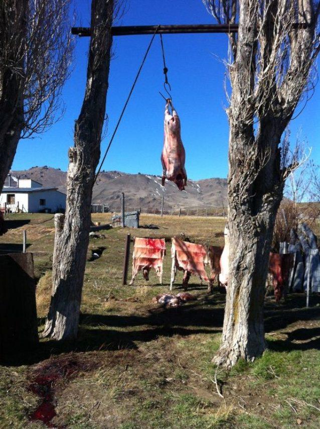 パタゴニア地方のほとんどの牧場では、羊をウールと食用に育てている。