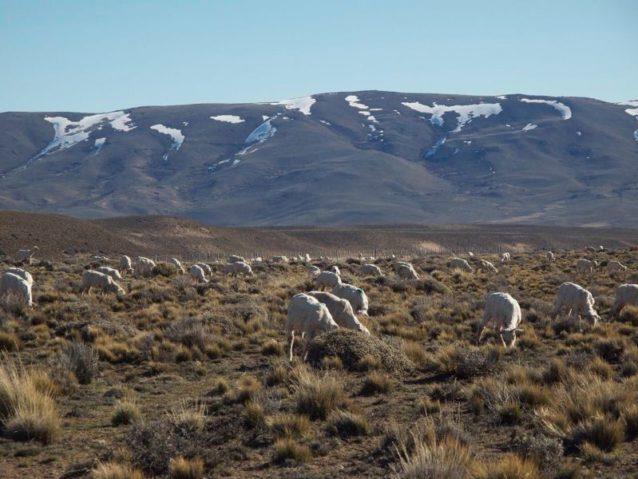 ウールを脱がされた羊は、ふたたび草を食みはじめる。