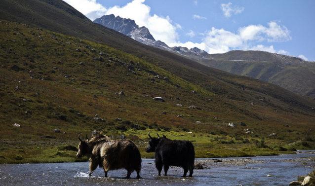 どこを見てもヤクだらけの四川省。中国でいう牛のことだが、どちらかというと毛むくじゃらの水牛のようだ。写真:アダム・コルトン
