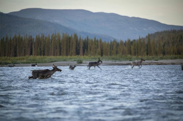 貯水予定地帯で川を下るあいだ、毎日数百頭のカリブーに遭遇した。Photo: Travis Rummel