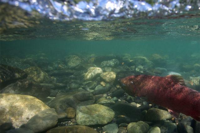 澄んだ支流の産卵地へと力強く遡上する、頑健なスシトナ川のキングサーモン。Photo: Matt Stoecker