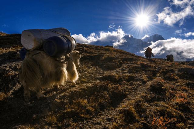 地元のチベット民族はいまも遠征チームやトレッキング・グループの食糧や装備をベースキャンプまで運ぶ援助をして生計を立てている。荷の重さに辟易した1頭のヤクが荷物を蹴り落としながら急な坂を駆け下りた。その結果、肉を入れた保冷箱が飛び散り、中身が坂道に散乱した。Photo: Marko Prezelj