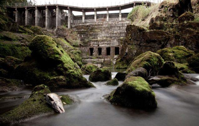 2011年秋、ダムが撤去される前に歴史的な生息地へのアクセスを塞がれ、ワシントン州のオリンピック半島のエルワ・ダムの下で横たわる、エルワ・リバーのキング・サーモン。Photo: Ben Knight