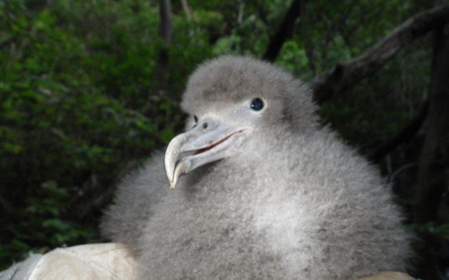 ふ化から約1か月後のオオミズナギドリの雛