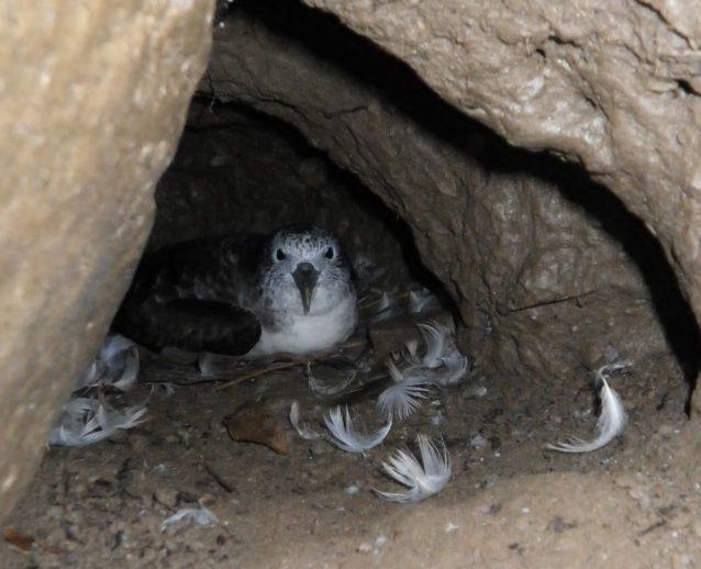 巣穴で卵を温めるオオミズナギドリの親鳥