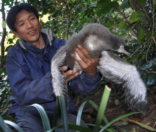 ふ化から約2か月後のオオミズナギドリの雛。特徴である長い翼が現れてきた