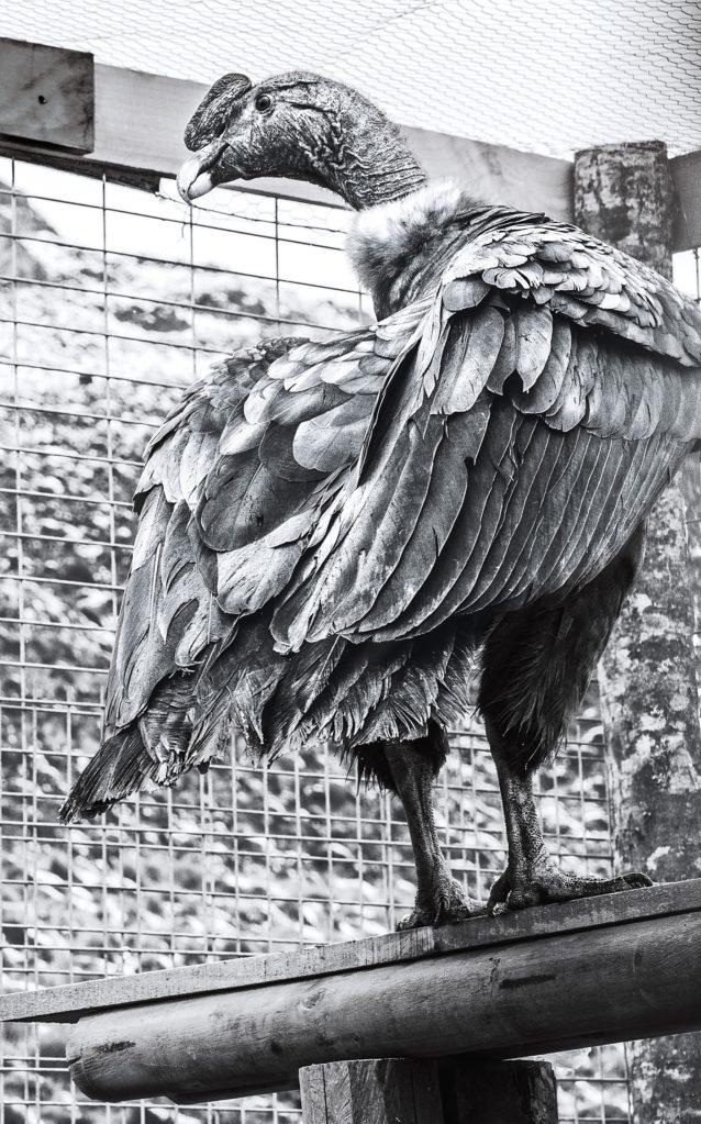 3羽の若いコンドルはリリースされる前、チャカブコ・バレーの囲いのなかで3か月間を過ごした。LINDE WAIDHOFER