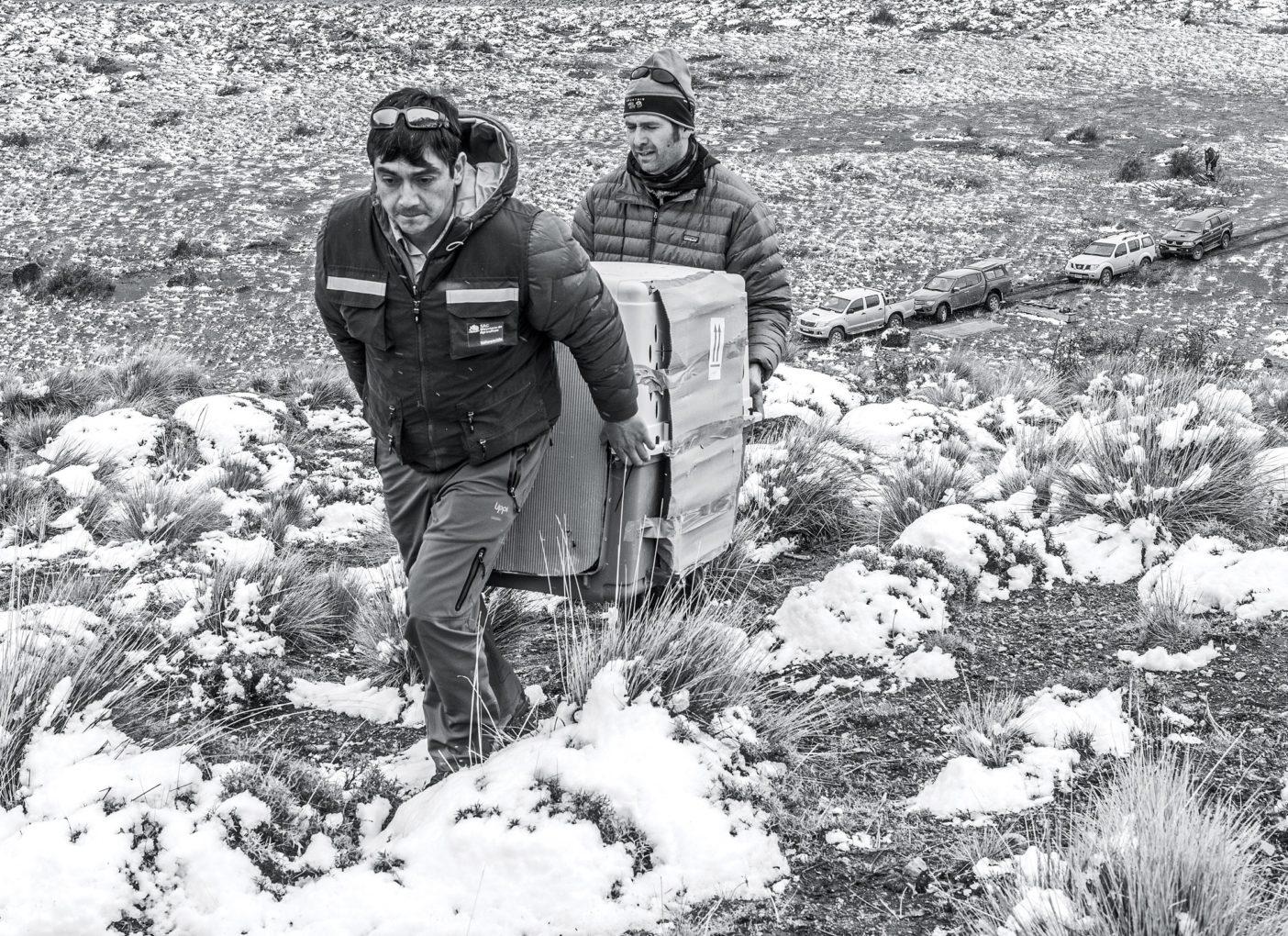チリの農務省の職員(手前)と野生生物学者のクリスチャン・サウシードが、リリースする前の囲いに入れられている鳥を運ぶ。LINDE WAIDHOFER