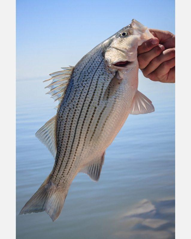 釣り上げたあと、魚を空気にさらすことは避けるべきである。これは呼吸を止め、釣り糸と格闘した魚の回復を遅らせることになる。この写真の魚が乾いて見えることにも注意してほしい。また魚の唇でつかむことも避ける。頭部と脊椎に過度のねじれと負担をかけかねないからだ。Photo: Bryan Gregson