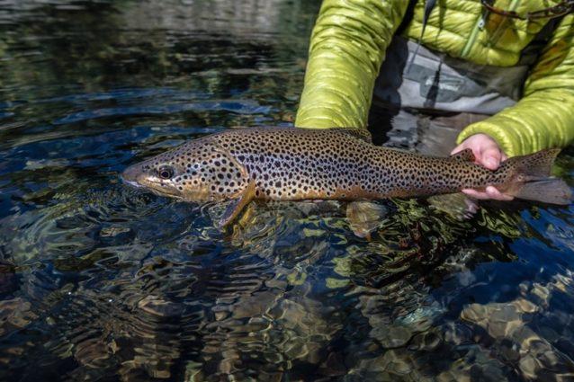水に動きがある場合は魚の頭部を水流に逆らう方向に向けて、口、エラ、エラぶたを通る水の流れを最大限にする。Photo: Bryan Gregson