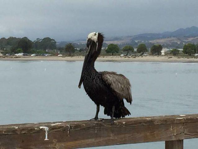 この原油にまみれたペリカンは5月26日の朝、ゴレタ・ビーチの埠頭で休んでいるところを発見された。この地域で原油にまみれた、あるいは傷ついた鳥を見つけたら、訓練を受けたプロが適切に動物を援助できるよう、877-823-6926へ電話をしてください。Photo: Gail Osherenko