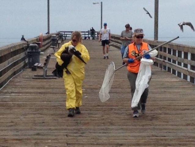 救出されたペリカンは〈ワイルドライフ・ケア・ネットワーク〉へ運ばれ、その施設で洗浄される。Photo: Gail Osherenko