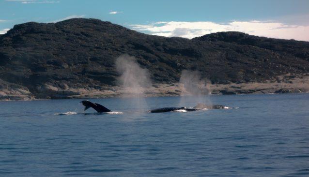 アシアートを出航するとクジラが伴走してくれた!写真提供:ワイルドな一団