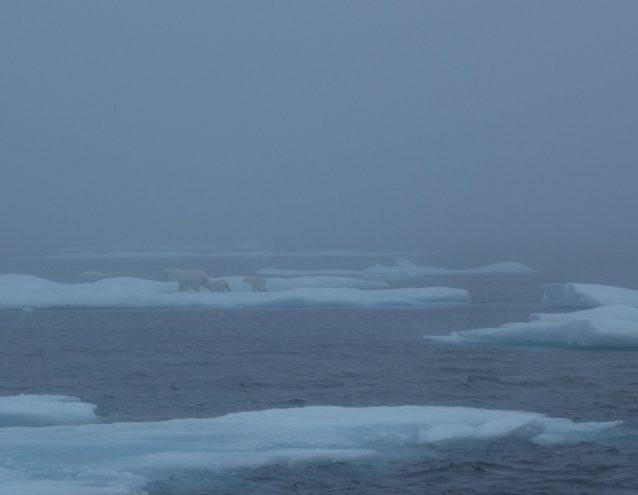 バフィン島沿岸から160キロメートルの沖合で氷から氷へと渡り歩くホッキョクグマの家族。写真提供:ワイルドな一団