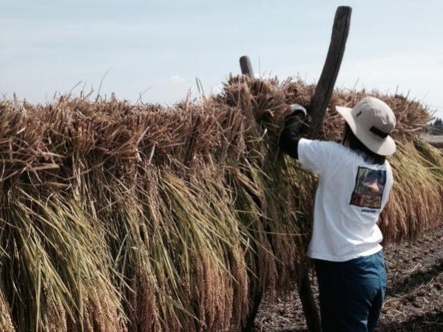 稲のはせがけ。稲刈り後に田んぼの真んなかに杭をたて、稲をかけて天日干しさせます。こうやって自然の力で乾燥させたお米は機械で乾燥させたものより断然おいしい。写真:守田 裕子