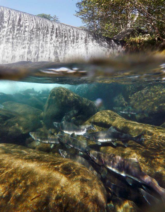 産卵遡上してきたサケが砂防ダムによって完全に遮られている。写真:浦壮一郎