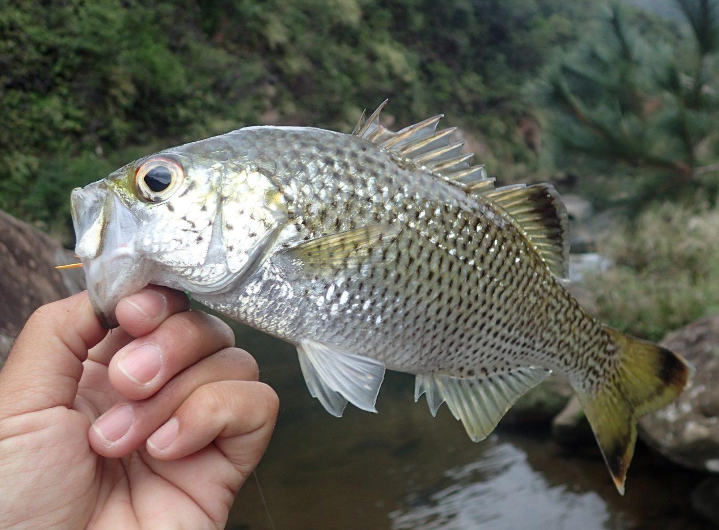 ハイシーズンではないため、それほど好活性ではなかったが、飽きない程度に釣れてくれる「癒しの魚」 写真:中根 淳一