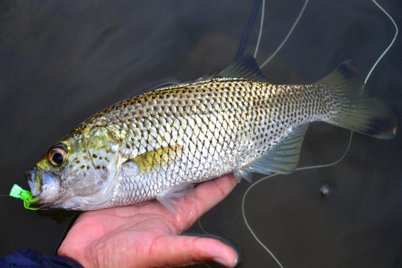 30センチメートルを超えるオオクチユゴイ。このサイズになると強い引きで釣り人を楽しませてくれる。写真:中根 淳一