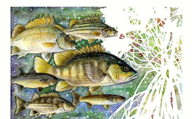 魚類調査対象の6魚種。上からシミズシマイサキ、ニセシマイサキ、ウラウチフエダイ、カワボラ、ナガレフウライボラ、ヨコシマイサキ イラスト:中根淳一