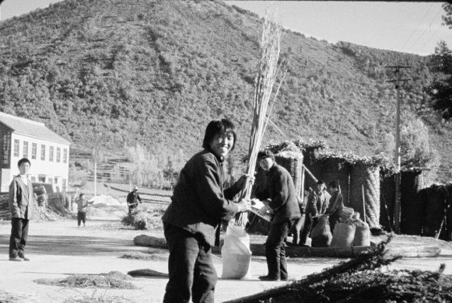 ここには遺伝子組み換え種子も特許種子もない。ヘンプの茎を揺すって次の植え付けのために種を集める。中国陝西省。Photo:Jill Dumain