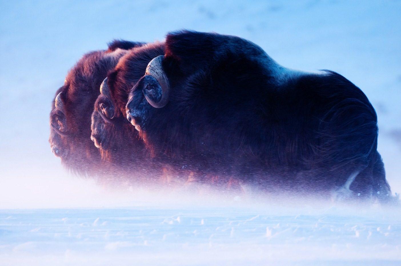 嵐のなかを日の沈む方向へと押し進んでいく3頭のジャコウウシ。僕は凍死しそうに凍えているが、北極圏に住む彼らのような動物にとっては日常の一幕に過ぎない。彼らの毛皮の保温性は最も温かい羊毛の7倍もある。Photo: Florian Schulz