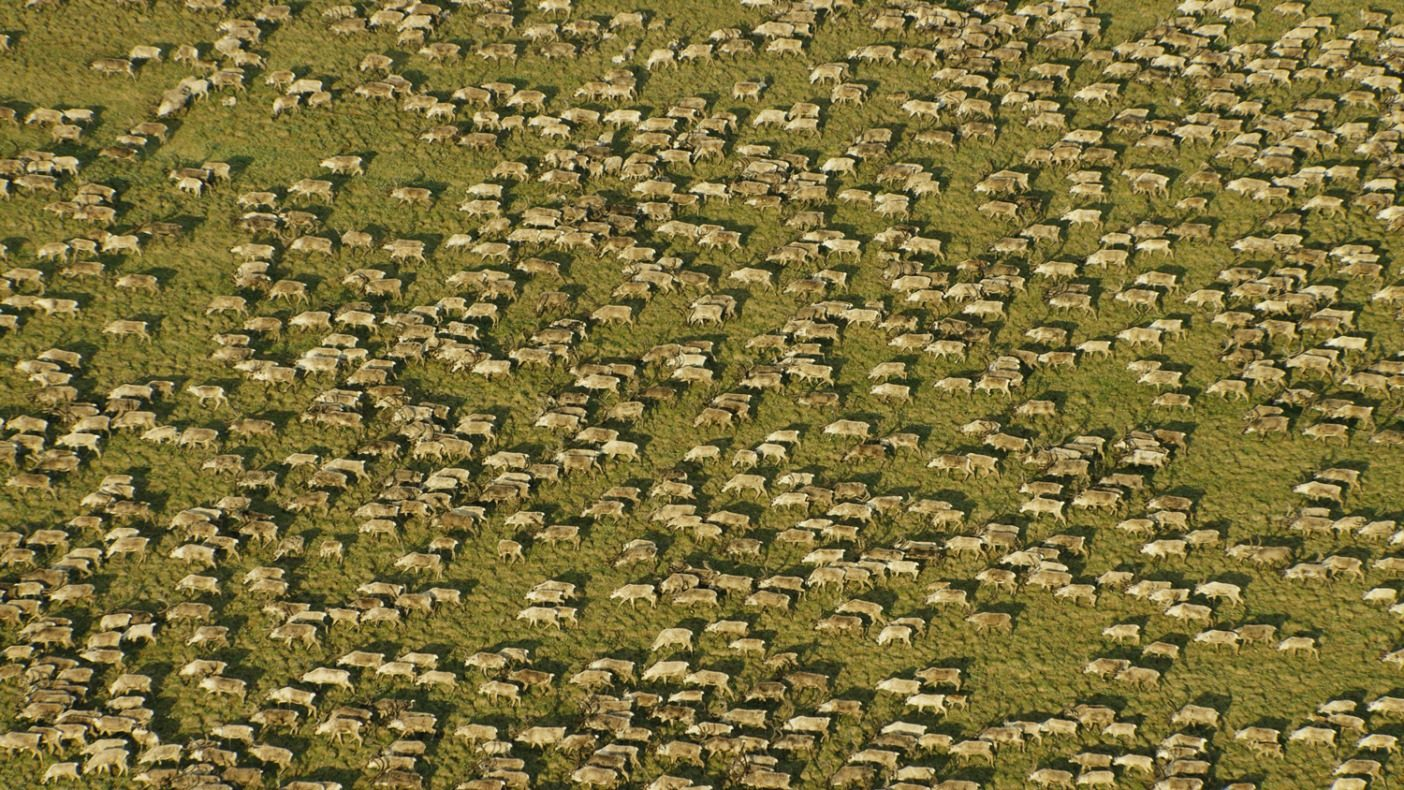 毎年この北極圏保護区に帰ってくるポーキュパイン・カリブーの群れは少なくとも20万頭以上。真夏になると数万頭のカリブーが群れをなし、川のように大地を渡り歩く。Photo: Florian Schulz