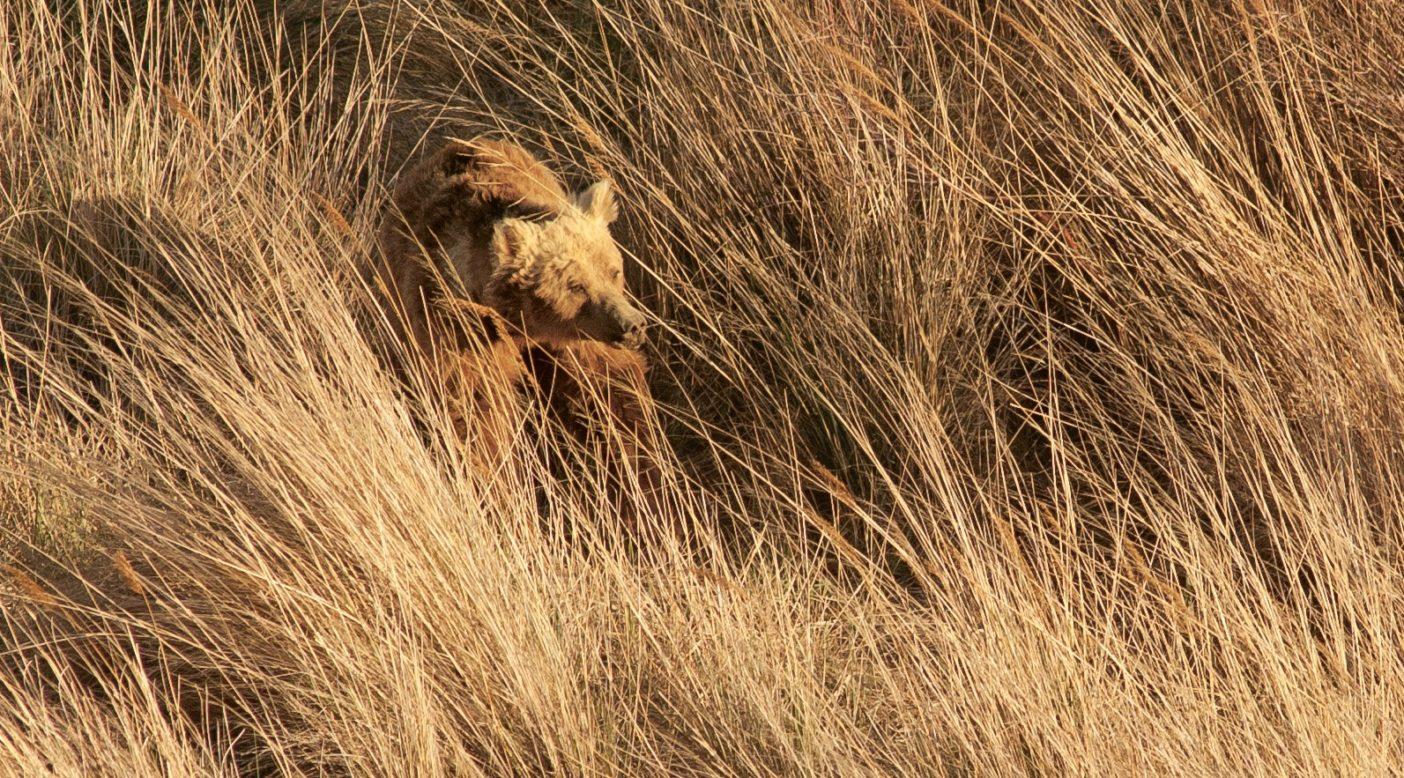 オアシスで無線の首輪を取り付けられ、その周辺の葦の草間に佇む「ビッグ・バワ」と名づけられたクマ。Photo: Joe Riis
