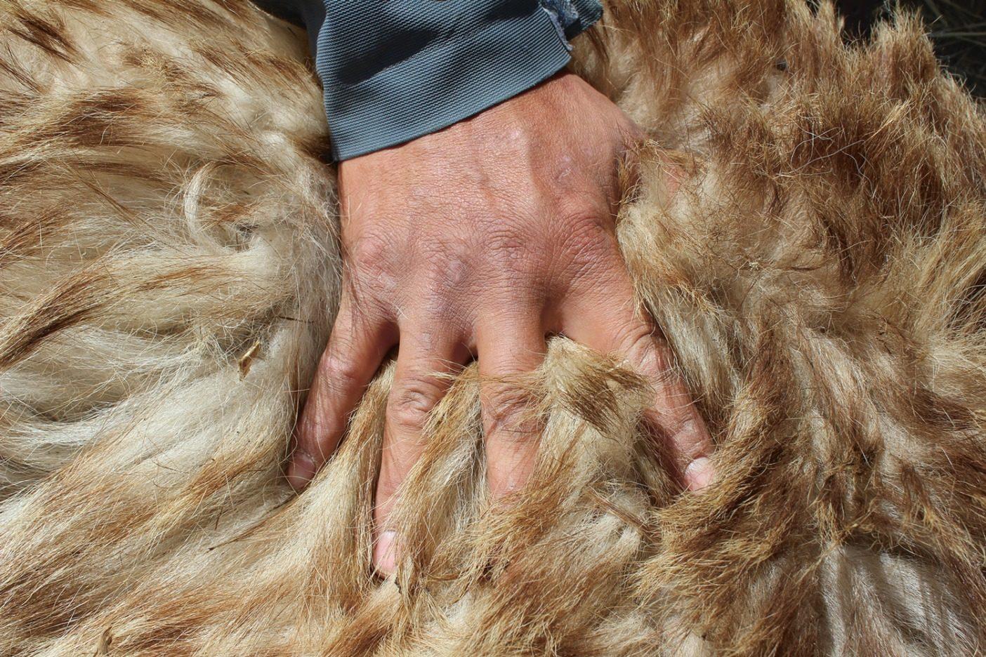 マザーライはゴビ砂漠の岩に覆われた丘に穴を掘ることも、粗食のために体を温かく保つ機能の脂肪を蓄えることもできない。その機能を太い上毛と密生した下毛に頼る彼らは、寒い冬のあいだ部分的に露出せざるを得ない洞穴で冬眠することもめずらしくない。Photo: Doug Chadwick
