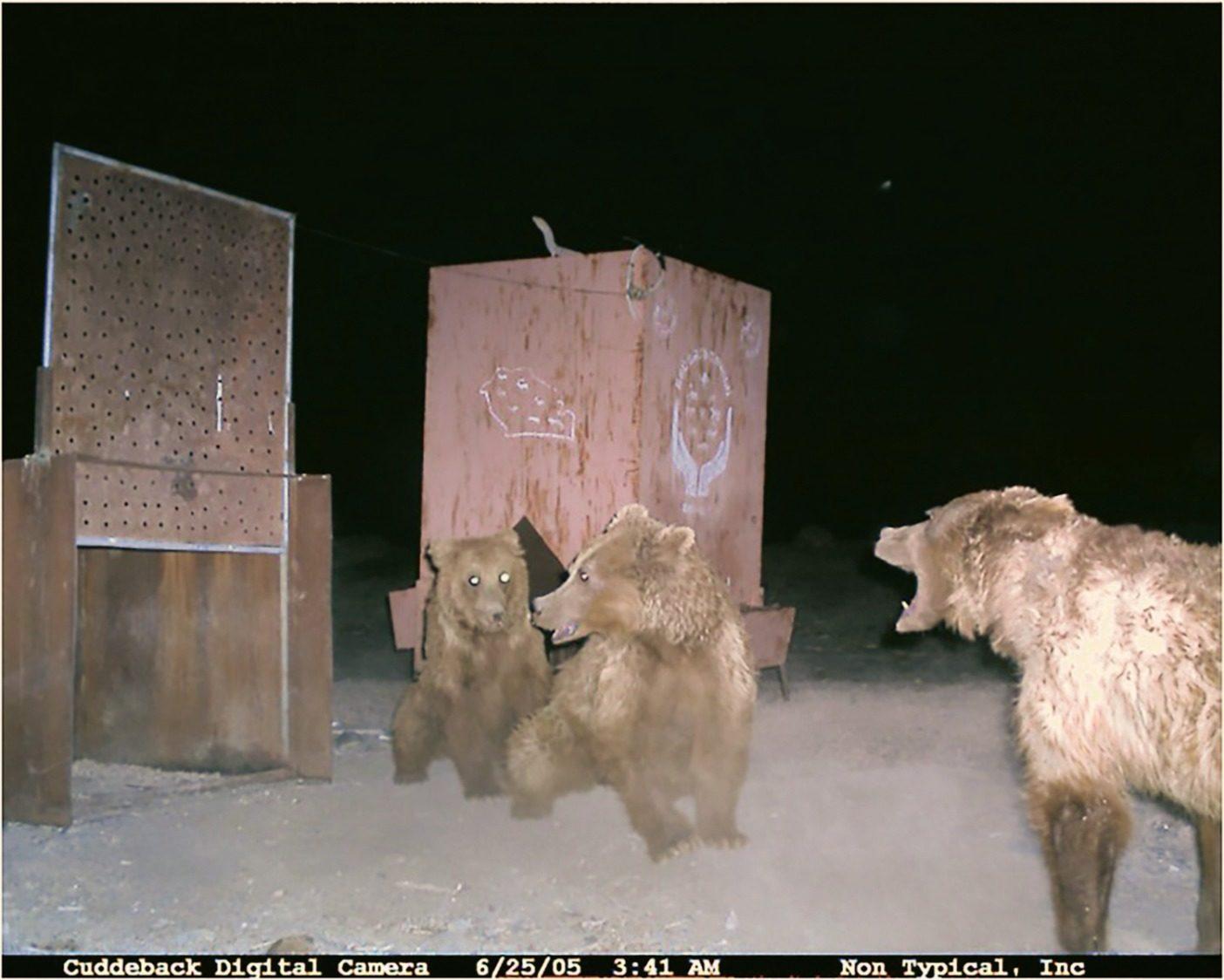 餌付け場所に設置された自動カメラの1つが撮影した、まだ成獣に満たない子供を他の大きなクマから守ろうとする母親の様子。Photo: Gobi Bear Project