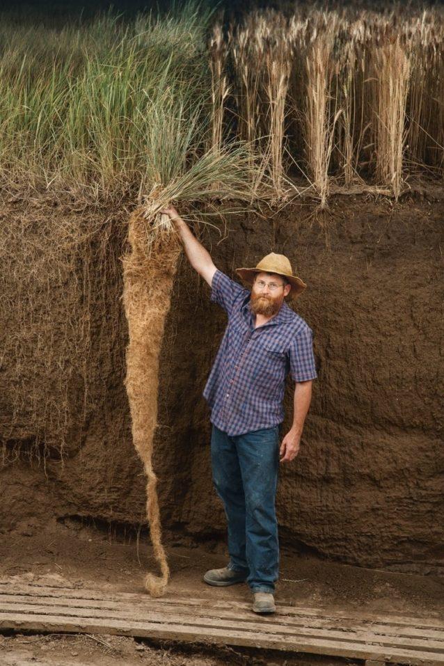 右が現代の小麦、左が多年生小麦のカーンザ。炭素の固定量が多いのはどちらだろうか。Photo: Jim Richardson