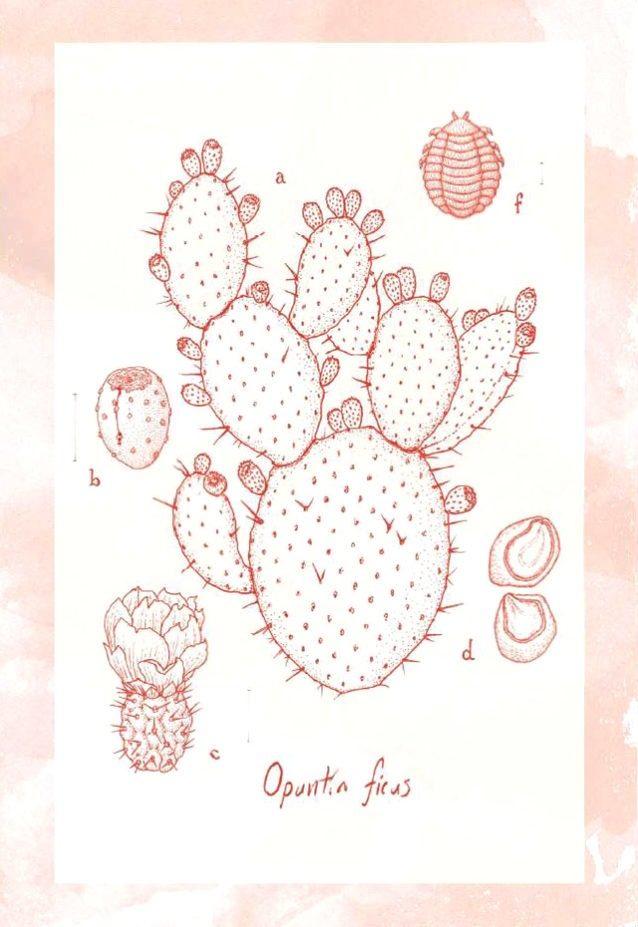 A. ウチワサボテン、B. 熟した実、 C. 花と未熟な果実、D. 成熟した種、F. コチニールカイガラムシ。Illustrator: Sean Edgerton