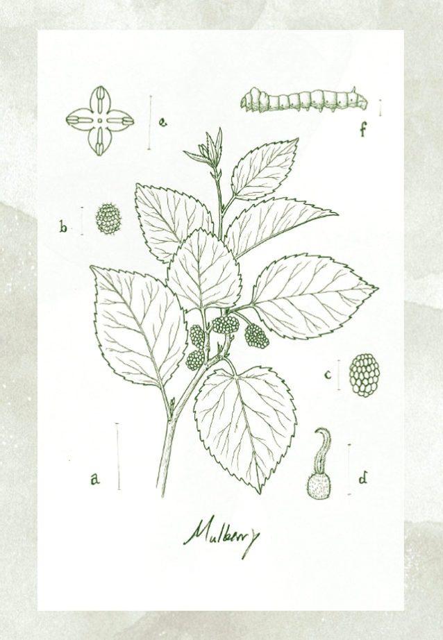 A. トウグワの枝、B. 雌の実、C. 雄の実、D. 雌花、E. 雄花、F. カイコ。Illustrator: Sean Edgerton