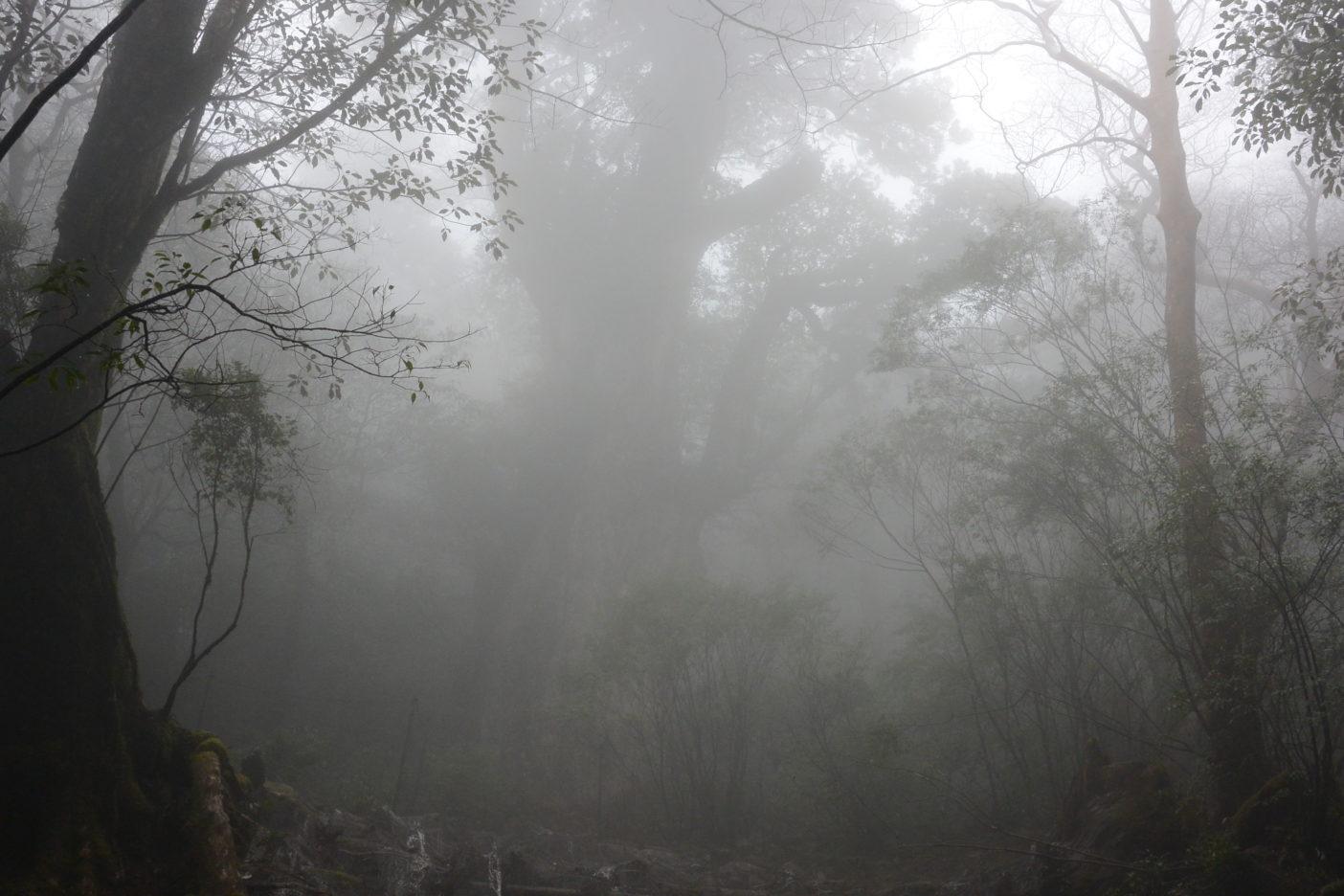 霧が濃く、迫力ある縄文杉もうっすらと幻のよう。写真:大野睦