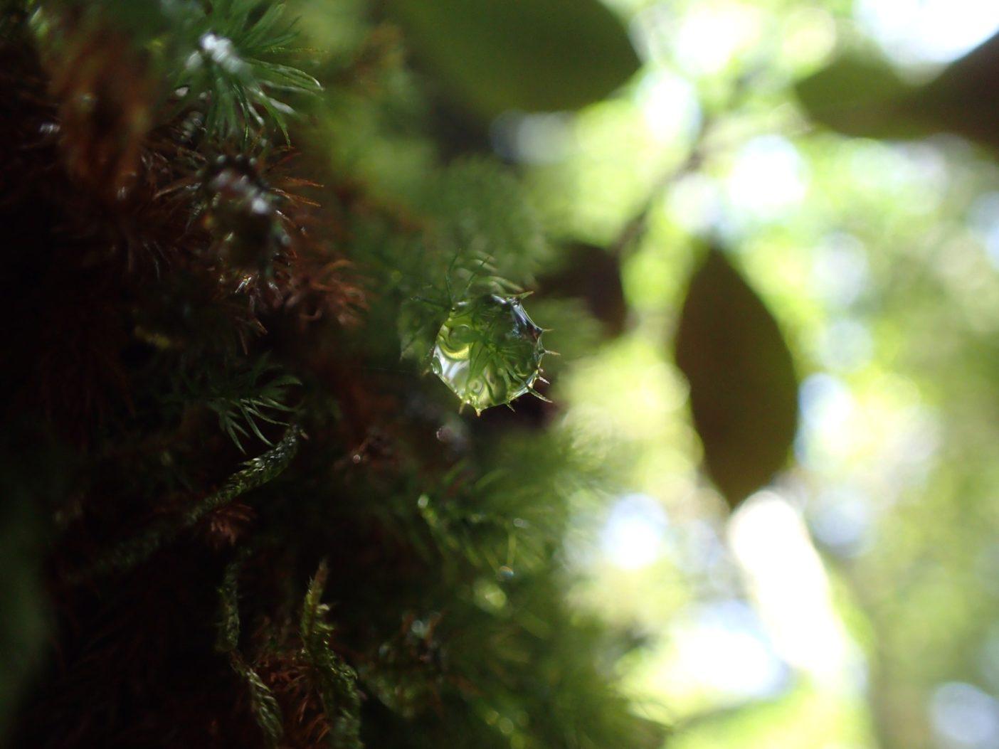 白谷雲水峡にて、雫を見つけると嬉しくなる。 写真:大野睦