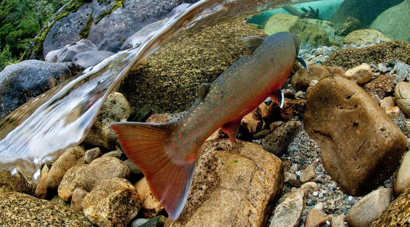上流へと急勾配(標高差1,200 メートル)の遡上を終え、ダークウッズ保護区内の産卵場所で泳ぐ雄マス。ブリティッシュ・コロンビア州セルカーク山脈 写真:Bruce Kirkby