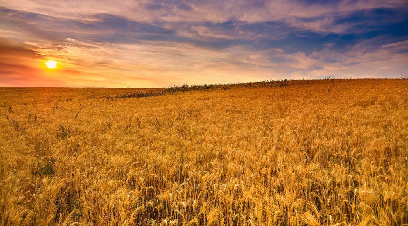 KAMUTコーラサン小麦は近代のほとんとの小麦に比べて蛋白質、アミノ酸、ビタミン、ミネラルが豊富だ。その高い栄養価とナッツとバターのような風味により、パタゴニア プロビジョンズではセイヴォリー・グレイン製品に採用している。KAMUTは商標登録されており、そのためつねに認証済オーガニック慣行により育てられること、決して遺伝子組み換えが行われないことが保証されている。Photo: KAMUT
