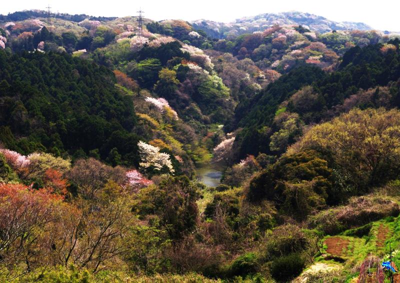春、山桜に覆われる瀬上池周辺。写真:認定NPO法人ホタルのふるさと瀬上沢基金
