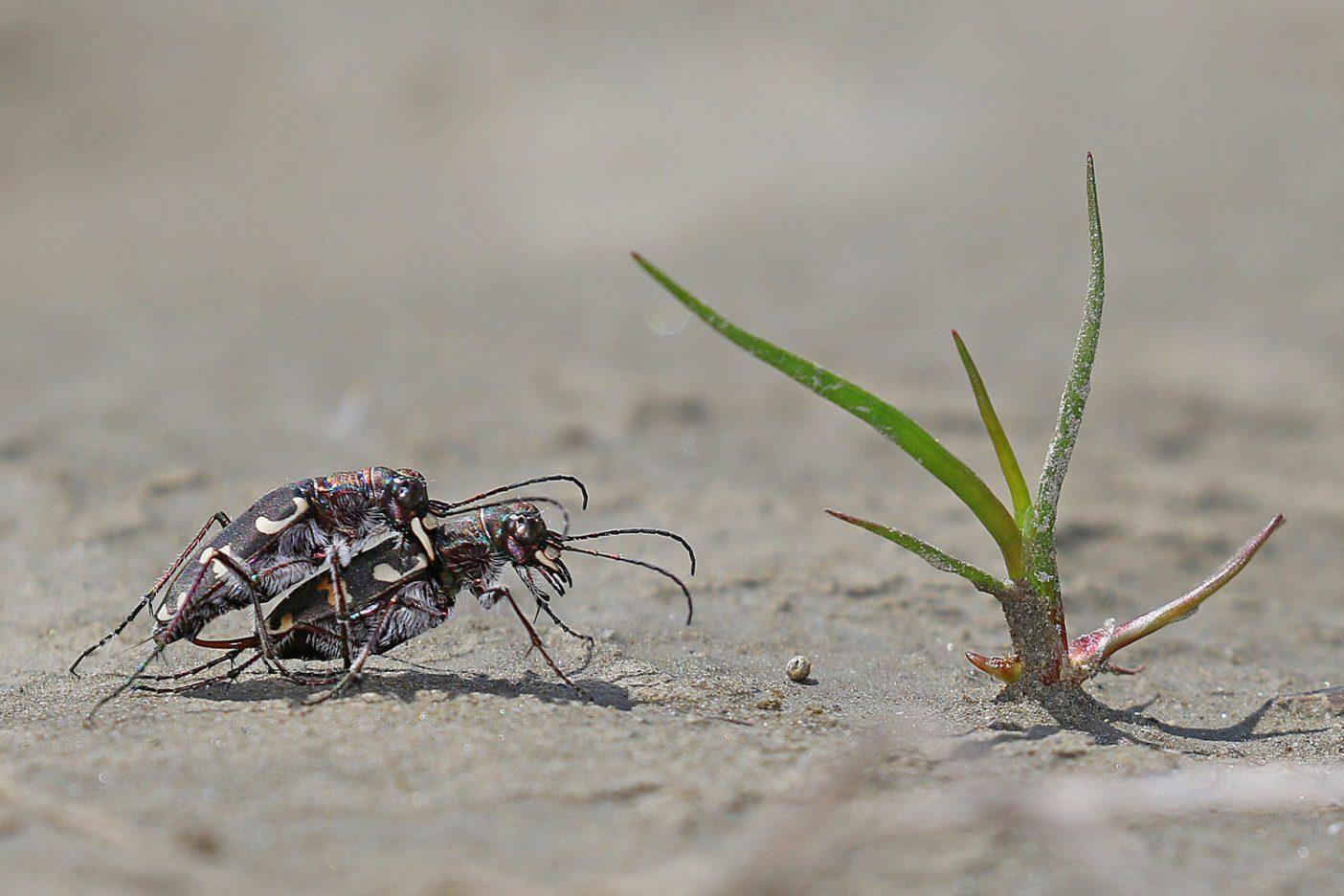 調査週間に発見された数多くの種のひとつで非常に珍しいハンミョウ。 Photo: © Gernot Kunz