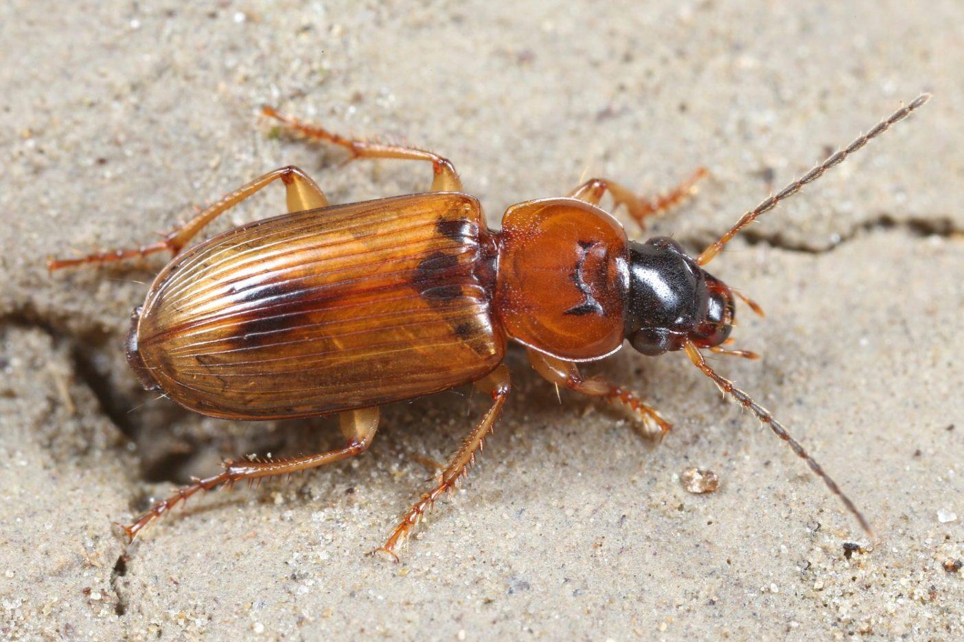 ステノロフス・ディスコフォルス(オサムシ科の昆虫)は活発な氾濫原を象徴する種。ポセム地区では多く見られるが、中央ヨーロッパでは絶滅危惧種に属している。 Photo: © Wolfgang Paill